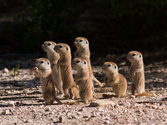 Family gathering (Joan Gellatly) Tags: arizona squirrel tucson groundsquirrel roundtailedgroundsquirrel spermophilustereticaudus photocontesttnc10