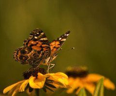 Butterfly (Mark Tenney) Tags: blur flower green yellow rural butterfly nikond50 arkansas wildflower blackeyedsusan commonbuckeye junoniacoenia greatphotographers mywinners platinumphoto naturesgreenpeace mothernaturesgreenearth