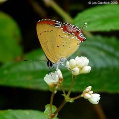 Heliophorus ila (LPJC) Tags: heliophorusila butterfly mingchih taiwan lpjc sc specanimal supershot