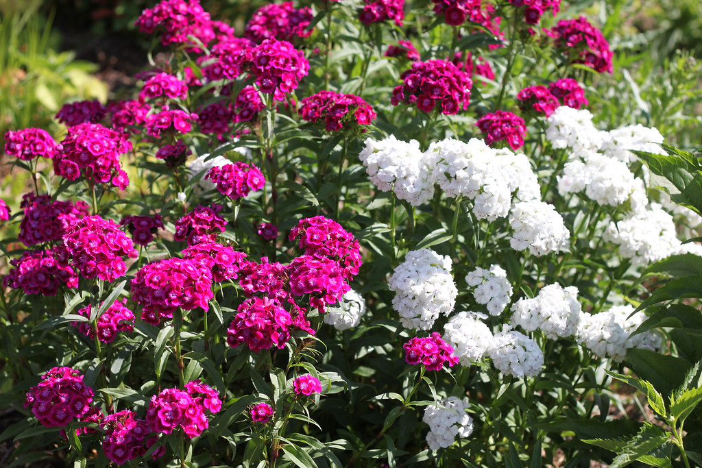 sweet william 333x