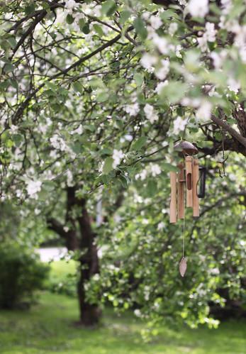 Apple Trees -2