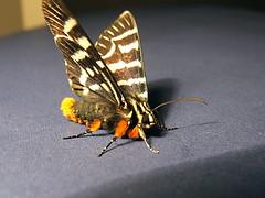 Noctuidae>Comocrus behrii Mistletoe Moth 0093 (Bill & Mark Bell) Tags: insect australia lepidoptera noctuidae westernaustralia animalia arthropoda exmouth insecta behrii taxonomy:class=insecta taxonomy:order=lepidoptera taxonomy:kingdom=animalia taxonomy:phylum=arthropoda taxonomy:family=noctuidae geo:country=australia mistletoemoth comocrus geo:state=westernaustralia geo:town=exmouth geo:lon=11425453egeolat2217752sgeoalt8m taxonomy:genus=comocrus taxonomycommonnamemistletoemoth taxonomybinomialnamecomocrusbehrii comocrusbehrii 11425453e2217752salt8m