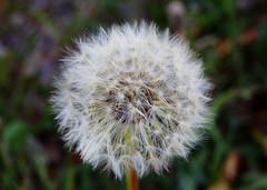DSC_7709 (Cheatara) Tags: flowers flower dandelion wishes flowering wish dandelions wishing makeawish flowered wished wishflowers wishingonaflower