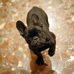 . (susilalala) Tags: frenchbulldog conchita bulldogfrances susilalala