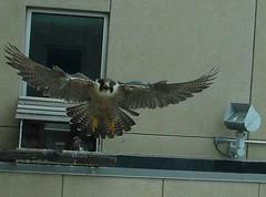 Defensive position (David Sebben) Tags: day mother iowa scorpio raptor falcon chicks davenport defensive encounter peregrine banding