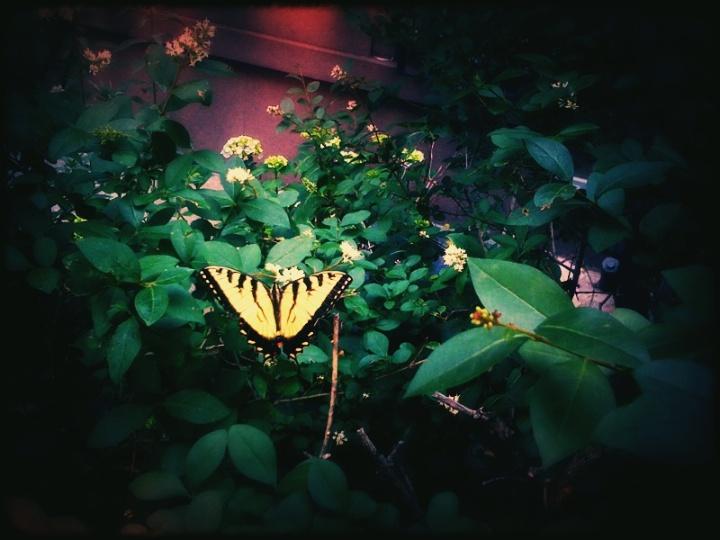 4671796385 4e09635f7b o a butterfly flies in brooklyn