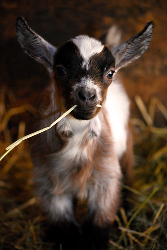 cute baby goat with straw