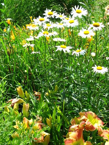 a daisy a day, dear