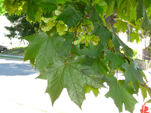 Foraging texas maple maple sciox Choice Image