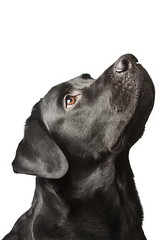 The dog black labrador looks upwards. isolated on white (pumba2011) Tags: dog pet black cute up look animal lab labrador looking hound adorable canine sit isolated upwards gundog trained obedient