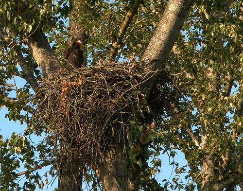 06-12-2010_bald-eagle-juvenile-nest