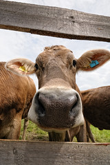 HI, MY NAME IS FRIEDL 7! (fuchsphoto) Tags: kuh cow moo friedl burg muh zell allgu eisenberg hohenfreyberg schlossalpe