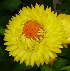 I WISH YOU A SUNNY WEEK  ! (picolojojo) Tags: flower color nature fleur yellow jaune panasonic greenhouse couleur verdure serres masterphotos abigfave anawesomeshot flickraward concordians saariysqualitypicturesgallery saariysqualitypictures fleursetpaysages
