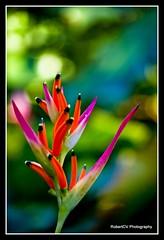 Paradise Bird (RobertCV) Tags: la pentax jardin el botanico salvador laguna kx supershot mywinners theunforgettablepictures