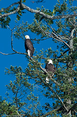 Bald Eagle Pair (R J Ruppenthal) Tags: two birds pacific pentax britishcolumbia baldeagle aves vancouverisland perched northern birdsofprey nationalbird ruppenthal whitetailed seaeagle haliaeetus k7 threatened chordata whitetailedeagle accipitriformes hookedbeak vancouverislandphotographer hlwashingtoniensis