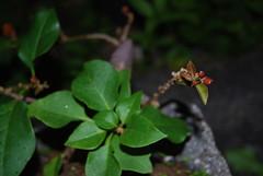 Bonsai Bougainvillea (Xtolord) Tags: bougainvillea bonsai xtolord
