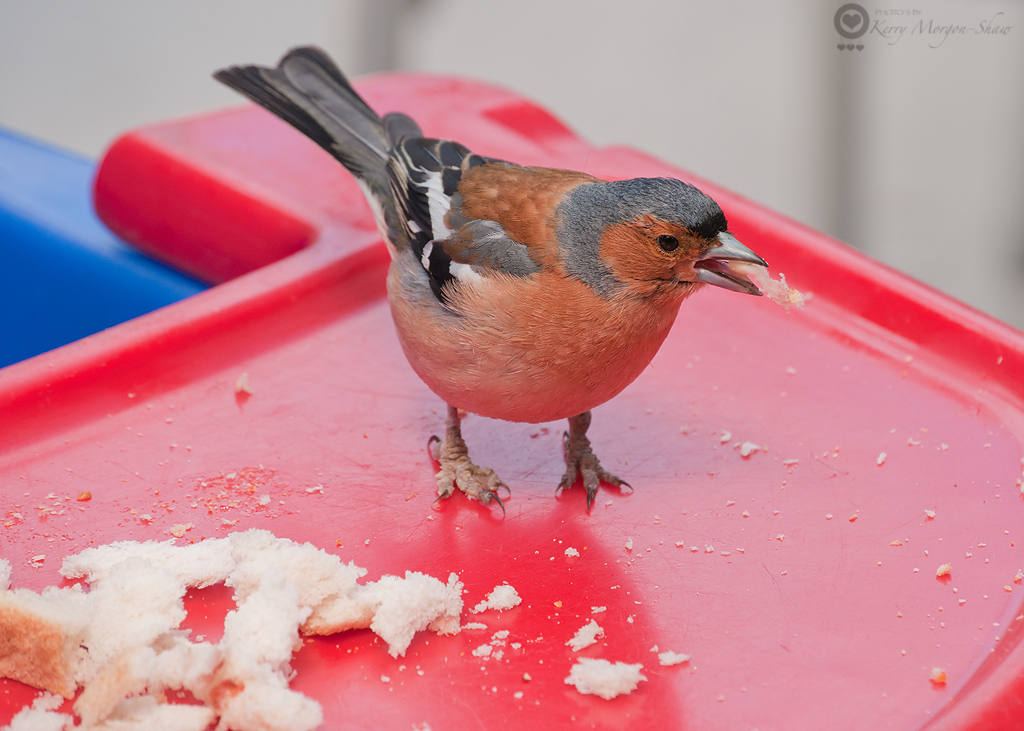 Hungry Chaffinch