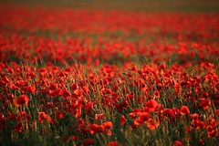 Poppytastic (sosij) Tags: uk red england rural canon dof poppy poppies fields 5d herts 35105mm canonn sooc