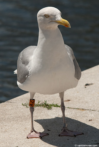 European Herring Gull, adult O[AZ]