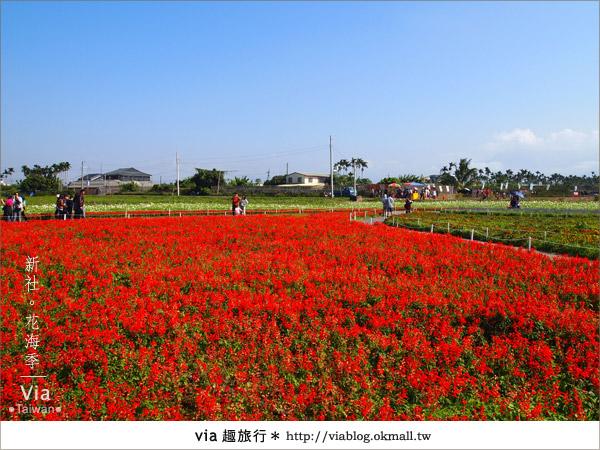 【2010新社花海】via帶大家欣賞全台最美的花海!11