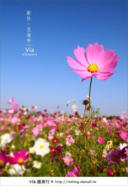 【2010新社花海】via帶大家欣賞全台最美的花海!