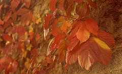 autunno in Barbagia (Manu%) Tags: autumn leaves foglie giallo autunno rosso barbagia desulo provinciadinuoro lamontagnaproduce desulu