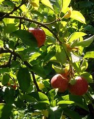 Appels in de appelboom