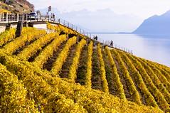 Vineyard (Bephep2010) Tags: autumn lake fall yellow schweiz switzerland see vineyard herbst gelb weinberg lakegeneva vaud genfersee waadt myswitzerland lavauxoron