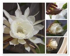 So this happened last night... (ruthlesscrab) Tags: cereus epiphyllumoxypetalum nightblooming flower blossom white