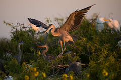 At home with the herons (Osprey-Ian) Tags: aransasnwr texas greatblueheron