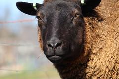 Serious look , Happy Weekend (excellentzebu1050) Tags: sheep closeup field farm outdoor animal animalportraits coth5 sunrays5