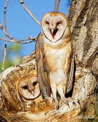 "That Was Funny, Lil' Bro' (dcstep) Tags: treehole owl owlet barnowl perched commercecity colorado unitedstates us barrlakebarrlakestateparkcanon5dmkivef500mmf4lisiief20xtciii1 000mmhandheldallrightsreservedcopyright2017davidcstephensdxoopticspro114naturebird 1000mm handheld ""all rights reserved"" ""copyright 2017"" ""david c stephens"" ""dxo optics pro 114"" nature bird n7a0557dxo ecoregistrationcase15586202651"