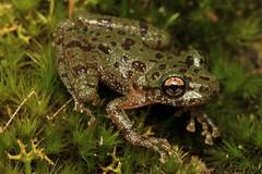 Heleophryne regis (lukekemp94) Tags: heleophryne regis ghost frog southern george western cape south africa amphibians 100mm macro canon lukekemp