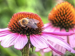 Always on the Move (clarkcg photography) Tags: bee busybee flower coneflower pink purple orange yellow green insect pollen petals tasty energy fly sundayfauna 7dwf