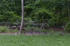 Wild Turkey Offspring (brucetopher) Tags: wild turkey turkeys wildturkeys feasant family brood hen hens mother children chick chicks baby babies yard forest wilderness backyard bird birding birds fowl hunt gather foraging