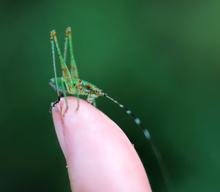 Bush Katydid Nymph Kiss