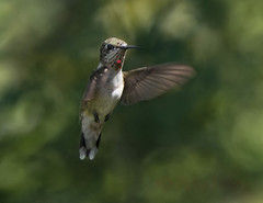 Hummer (Pete Foley) Tags: overtheexcellence littlestories picswithsoul