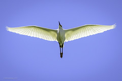 Snowy Egret Fly-By (halladaybill) Tags: sanjoaquinwildlifesanctuary snowyegret egret orangecounty california wader flight