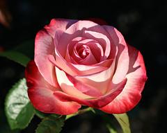 Glowing Beauty (Through Serena's Lens) Tags: 7dwf flora rose glowing flower plant outdoor light bokeh red pink closeup garden