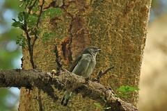 Pallid Honeyguide (Indicator meliphilus) (algaedoc) Tags: fbwnewbird fbwadded indicatormeliphilus pallidhoneyguide taxonomy:binomial=indicatormeliphilus