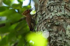 Ringed Woodpecker (Celeus torquatus) (jmittermeier) Tags: celeus fbwnewbird fbwadded ringedwoodpecker celeustorquatus