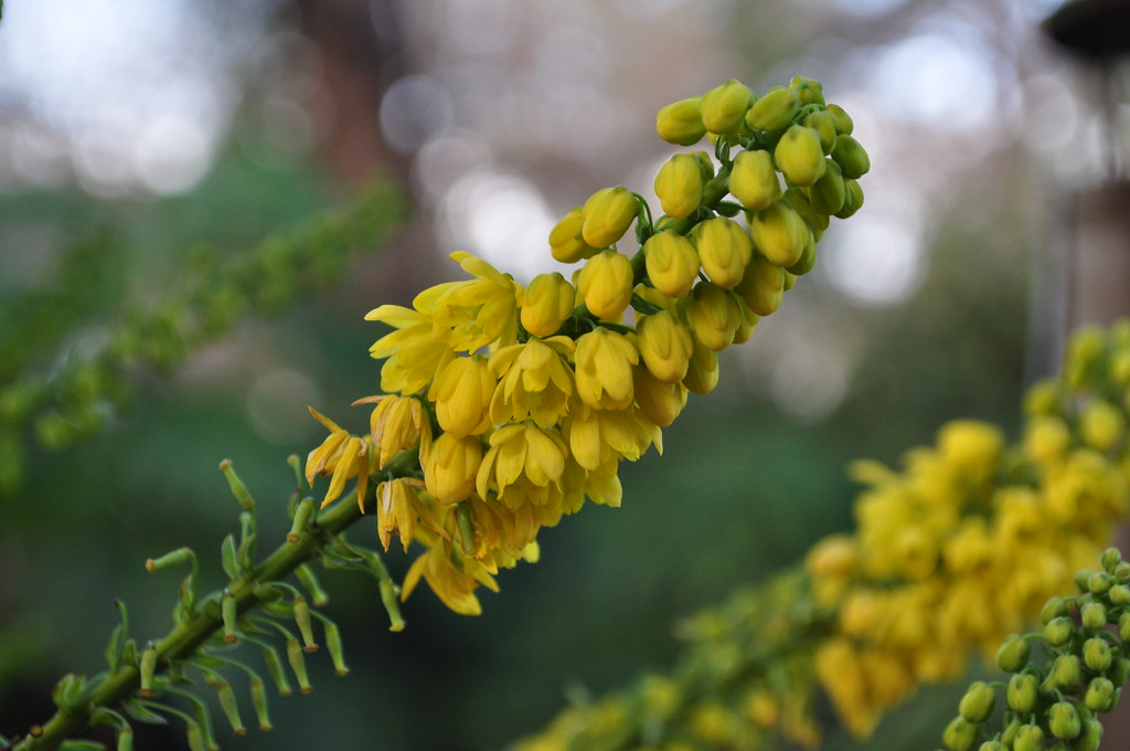 Mahonia x 'Winter Sun' 1.1