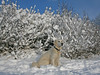 Snow (Ingrid0804) Tags: winter dog snow goldenretriever denmark bluesky abigfave virtualjourney