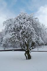 December Snow (bettyboop ek) Tags: trees snow scotland nikon bettyboop eastkilbride lanarkshire d40