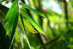 IMG_2303 (Cak-cak) Tags: bali leaves indonesia bokeh bamboo bambu klungkung sidemen iseh efs55250mm