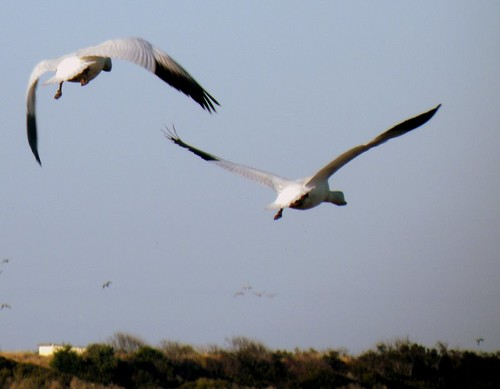 snow geese, white pelicans at Pea Island