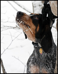 Porcupine 1 - Sadie 0 (Zach Boumeester) Tags: blue dog snow dogs minnesota wisconsin forest nikon snowy hunting hound coon 28 tick raccoon f28 coonhound 80200 bluetick d300 d300s