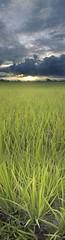 619-Sun Rise Over A Paddy Field (PEERAWAS) Tags: vertical thailand rice samsung mobilephone lampang verticalpanorama verticalworld verticalphotography verticalcamera