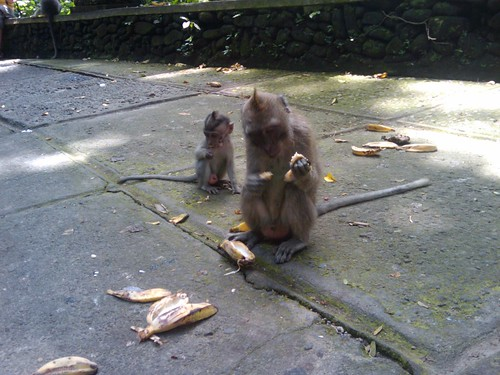 pics of monkeys eating bananas. I saw monkeys eating mini