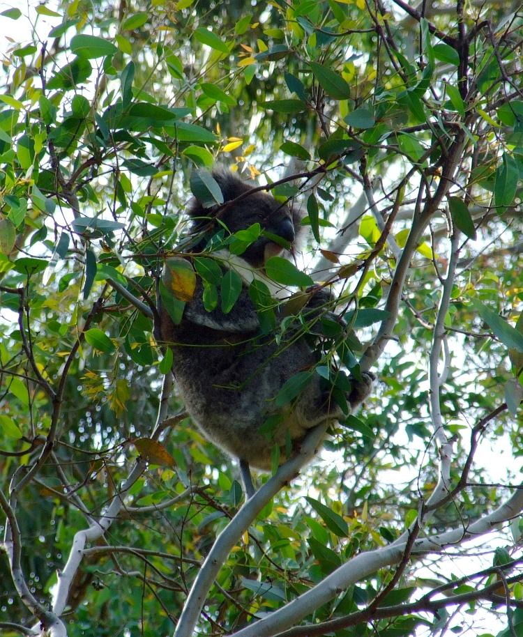 comfortable koala